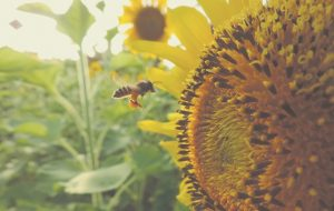 sunflower-983894_640