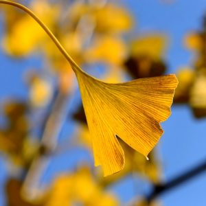 ginkgo-in-the-autumn-1032489_640