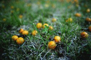 pruimen geel