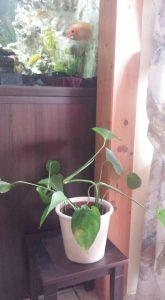 stek wort plant